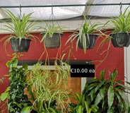 5 Spider Plants in Ramstein, Germany