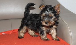 Yorkshire terrier puppies in Fort Campbell, Kentucky