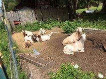 Free playhouse for goats. deck or climbing in St. Charles, Illinois