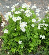 Japanese Anemone Plant, Windflower Perennial in Naperville, Illinois