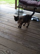 SIAMESE  FEMALE CAT FREE TO GOOD HOME in Kingwood, Texas