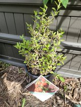 Goji Berry 'Lifeberry®' Lycium Lifeberry® Perennial Plant in St. Charles, Illinois