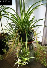 Large Spider Plant in Ramstein, Germany