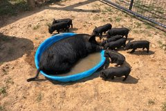 American Guinea Hogs in Fort Campbell, Kentucky
