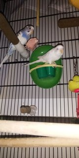 Two parakeets in Fort Campbell, Kentucky
