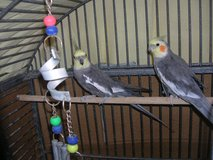 **COCKATIELS WITH CAGE** in Alamogordo, New Mexico