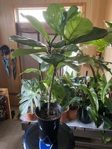 Small fiddle leaf fig in Okinawa, Japan
