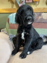 Labradoodle puppies for sale in Fort Campbell, Kentucky