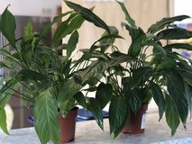 Peace Lily x2 Medium Plants in Ramstein, Germany