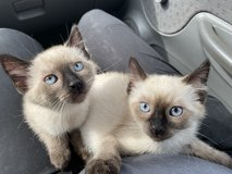 Siamese kittens (Chocolate point) in Camp Pendleton, California