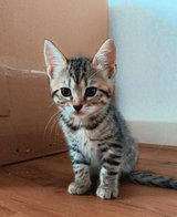 Bengal Mix Kittens in Ramstein, Germany
