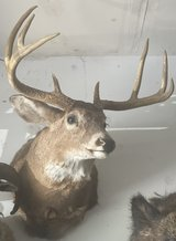 Whitetail buck shoulder mount in Bolingbrook, Illinois