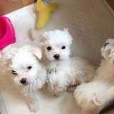 Adorable Maltese For A New Home in Jacksonville, Florida