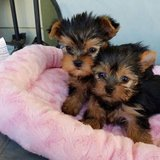 Outstanding yorkies puppies Ready to go now in Jacksonville, Florida