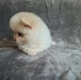 Lovely Pomeranian Puppies available in Jacksonville, Florida