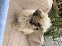 outstanding Shih Tzu puppies Ready For Forever Home in Jacksonville, Florida