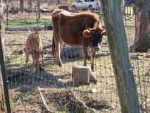 2 Jersey cows for sale. in Rolla, Missouri