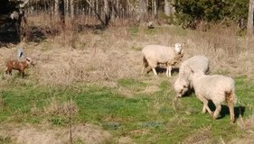 Wooled sheep and lambs for sale. in Rolla, Missouri