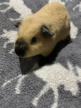 Guinea pigs and skinny pigs in Naperville, Illinois