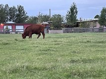 Red and Black Angus Beef in Alamogordo, New Mexico