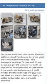 2 bonded female chinchillas need a new home Selling with cage wheel and everything in Naperville, Illinois