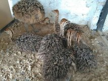 Ostrich chicks and fertile eggs  available for sale in Fort Rucker, Alabama