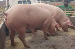 Land Race and duroc piglets piglets for sale in Fort Rucker, Alabama