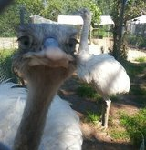 Rhea and Emu chicks for sale in Fort Rucker, Alabama