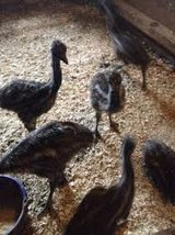 0strich chicks and fertile eggs for sale in Fort Rucker, Alabama